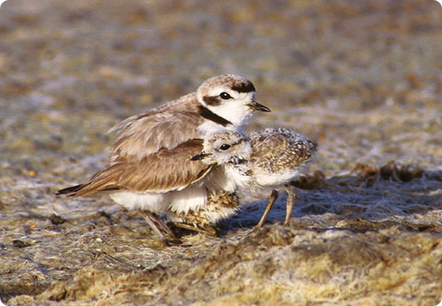 Plover mother and father brooding